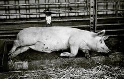 grand porc à une ferme Photographie stock