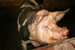 Grand porc Images libres de droits