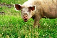 Grand porc Photos stock