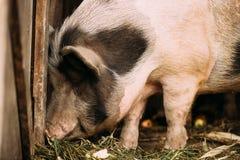 Grand porc blanc du ménage A dans la cour d'animaux d'élevage Agriculture de porc photo libre de droits