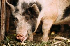 Grand porc blanc du ménage A dans la cour d'animaux d'élevage Agriculture de porc photo stock