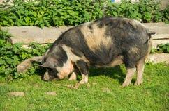 Grand porc noir de reniflement dans l'été images libres de droits