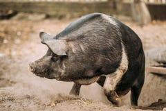 Grand porc noir drôle du ménage A fonctionnant dans la basse cour photo stock