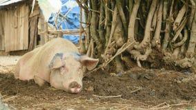 Grand porc, porc, porc dans une ferme clips vidéos