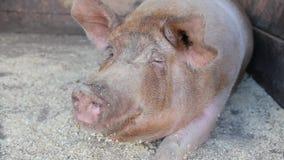 Grand porc sale à la ferme clips vidéos