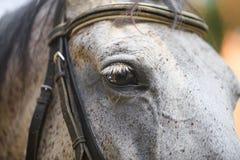 Grand portrait d'un cheval, cheval de yeux images libres de droits