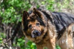 Grand portrait de la tête d'un chien de la race du berger allemand dans un jour ensoleillé Photographie stock libre de droits