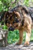 Grand portrait de la tête d'un chien de la race du berger allemand dans un jour ensoleillé Image stock