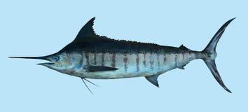 Grand portrait de pêche de Marlin bleu Image stock