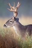 Grand portrait latéral de mâle de whitetail Image libre de droits