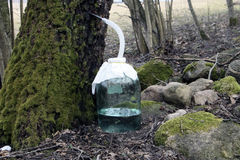 Grand pot de sève de bouleau près des pierres et des arbres mossgrown en bois de forêt Images libres de droits