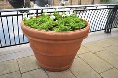 Grand pot rond d'usine avec l'élevage vert d'arbustes Image stock