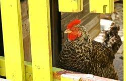 Grand poulet me regardant Photographie stock libre de droits