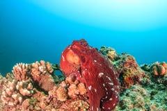 Grand poulpe rouge sur un récif coralien images libres de droits