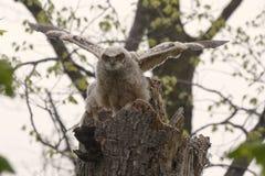 Grand poussin de hibou à cornes, virginianus de Bubo image libre de droits