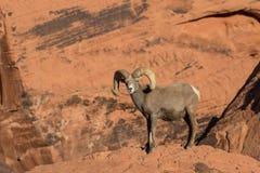 Grand Ram de Bighorn de désert dans la roche rouge Photos libres de droits