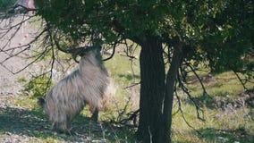 Grand Ram Stands sur sa Hind Hooves et Eat les feuilles d'un arbre près de la route Mouvement lent clips vidéos