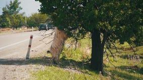 Grand Ram Stands sur sa Hind Hooves et Eat les feuilles d'un arbre près de la route Mouvement lent banque de vidéos