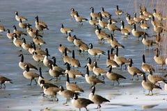 Grand rassemblement des oies de Canada en Amérique du Nord Photos libres de droits
