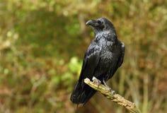 Grand Raven Image libre de droits