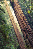 Grand Redwood Trees Royalty Free Stock Images