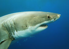 Grand requin blanc photographie stock libre de droits