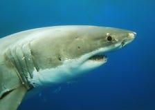 Grand requin blanc Photographie stock libre de droits