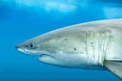 Grand requin blanc Photos stock