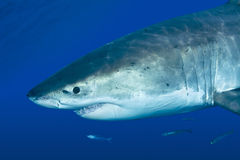 Grand requin blanc Photo stock