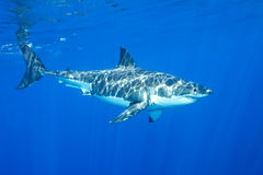 Grand requin blanc Photo libre de droits
