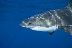 Grand requin blanc Photo stock
