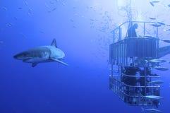 Grand requin blanc photos stock
