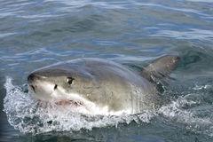 Grand requin blanc images stock