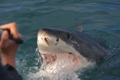 Grand requin blanc images libres de droits