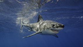 Grand requin blanc Guadalupe Mexique Photo libre de droits
