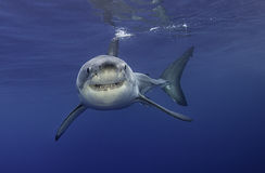 Grand requin blanc Guadalupe Mexique Photo stock