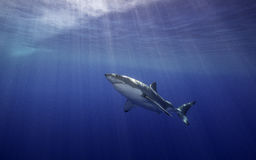 Grand requin blanc Guadalupe Mexique Photographie stock