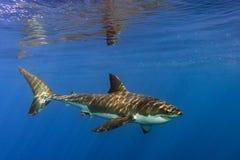 Grand requin blanc prêt à attaquer Image stock