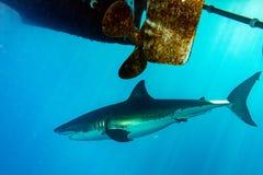 Grand requin blanc prêt à attaquer sous un bateau photos libres de droits