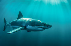 Grand requin blanc sous-marin Photographie stock