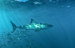 Grand requin blanc sous-marin Photo libre de droits