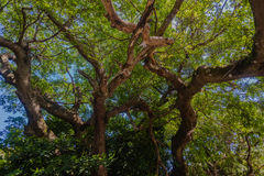Grand revêtement d'arbres   Photo stock