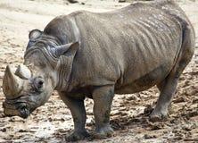 grand rhinocéros Photos stock