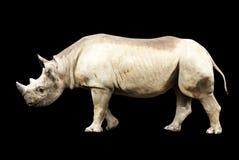 Grand rhinocéros africain d'isolement sur un fond noir Images stock