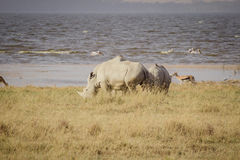 Grand rhinocéros de pâturage Photographie stock