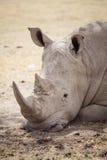 Grand rhinocéros fatigué 2 Photos libres de droits