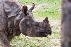 Grand rhinocéros indien mis en danger images libres de droits
