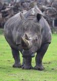 grand rhinocéros Image libre de droits