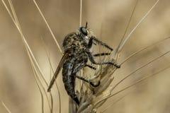 Grand robberfly repos dans le domaine en été photographie stock