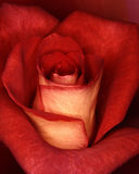 Grand Rose. Close up of a rose Royalty Free Stock Images